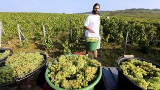 Un vendangeur dans les vignes de Cumières(Marne),le 8 septembre 2014. (FRANCOIS NASCIMBENI / AFP)