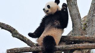 Huan-Huan, un des deux panda géant récemment arrivé de Chine au zoo de Beauval (Loir-et-Cher), le 18 février 2012. (ALAIN JOCARD / AFP)