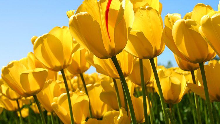 Les tulipes. (Non)