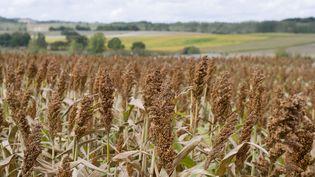 Un champ de sorgho avant la récolte. (CLAUDIUS THIRIET / BIOSPHOTO / AFP)