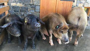 Le porc noir de Bigorre chez Pierre Sajous (Laurent Mariotte / Radio France)