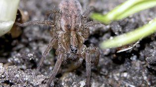 Les araignées qui ont envahi la ville de Sadiya, en Inde, ressemblent à des tarentules. (CHRISTIAN PUYGRENIER / AFP)