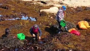 A la rencontre de Scarlette Le Corre, cueilleuse d'algues dans le Finistère. (CAPTURE D'ÉCRAN FRANCE 2)