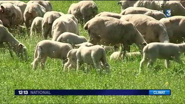 Sécheresse : un surcoût pour les éleveurs