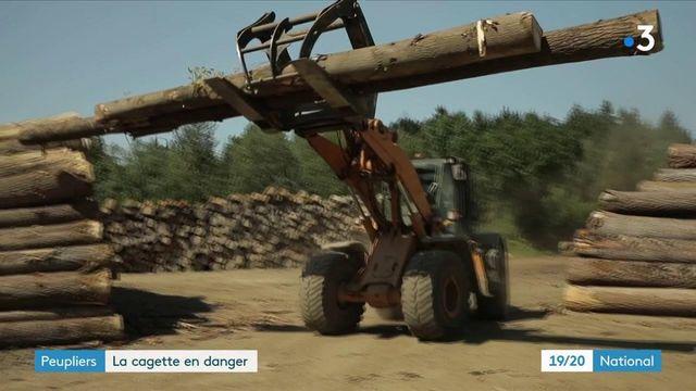 Bretagne : replanter des peupliers, une nécessité pour produire des cagettes