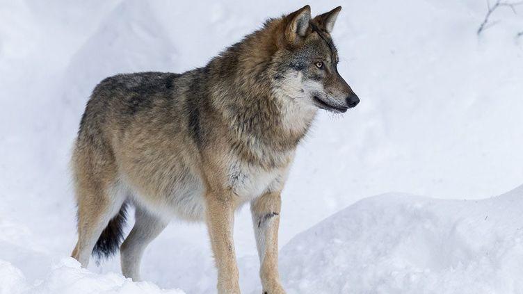 Un loup dans un parc national en Allemagne. (Illustration). (FRANCK FOUQUET / MAXPPP)