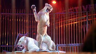 Des lions participant à un numéro de cirque, à Monaco, le 20 janvier 2013. (  MAXPPP)