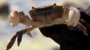 Crabe asiatique (capture d'écran) (FRANCE 3)