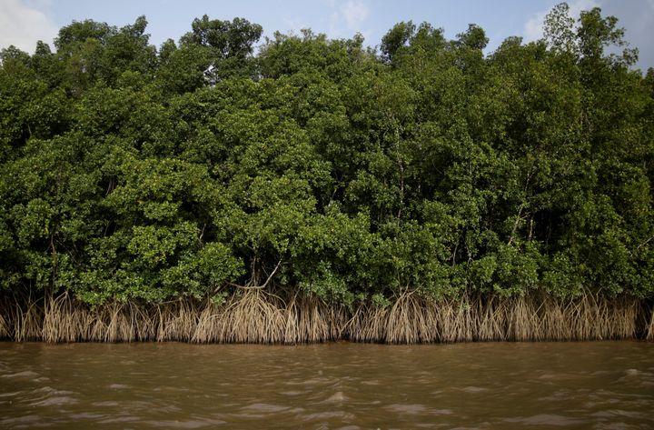 La mangrove envahit les rives de la rivière Oyapock, dans l'embouchure de l'Amazone, le 3 avril 2017, à la frontière entre le Brésil et la Guyane française. (RICARDO MORAES / REUTERS)