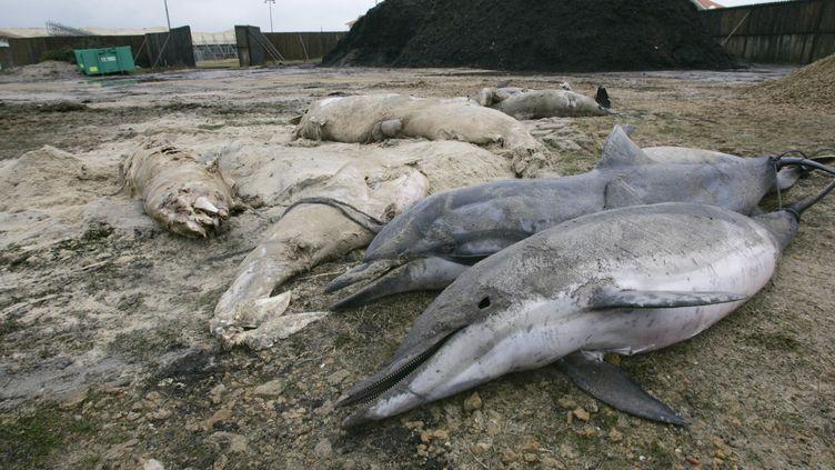 Une dizaine de dauphins échoués en février 2006 près de Biscarosse, dans les Landes (MICHEL GANGNE / AFP)