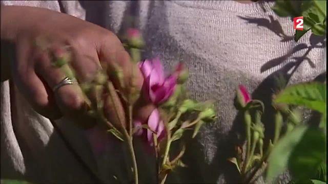 Dans le Var, la production de la rose de mai a été relancée
