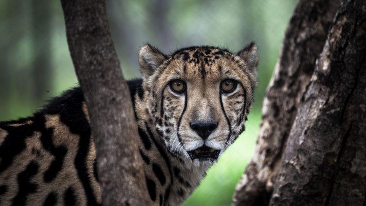 Ce guéparden captivité a étéphotographié dans le centre Ann van Dyk, à Hartbeespoort(Afrique du Sud), le 30 décembre 2016. (JOHN WESSELS / AFP)