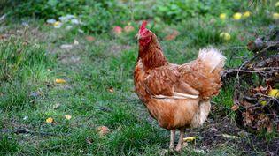 Une poule photographiée dans une ferme à Biras (Dordogne), le 15 septembre 2015. (CITIZENSIDE / GERARD BOTTINO / AFP)
