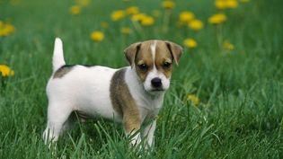 Un chien de la race Jack Russel Terrier. (MINDEN PICTURES / AFP)