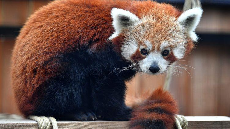 Une femelle panda roux du zoo de Lille (Nord). (MAXPPP)