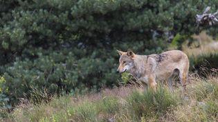 En Dordogne, le loup a été vu pour la dernière fois en 1929. (FRANCK FOUQUET / BIOSPHOTO / AFP)