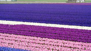 Un champ de tulipes en fleurs à Liss (Pays-Bas), le 1er avril 2014. (MAXPPP)