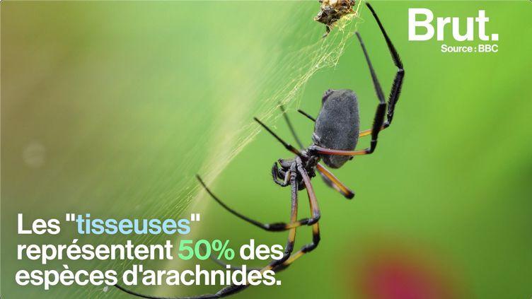 VIDEO. Comment les araignées tissent-elles leur toile ? (BRUT)