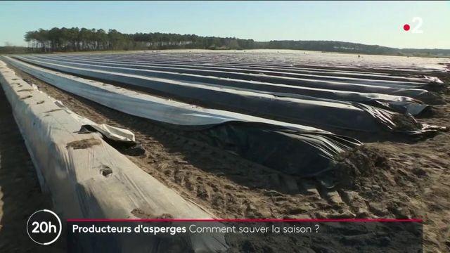 Landes : les producteurs d'asperges espèrent sauver leur saison