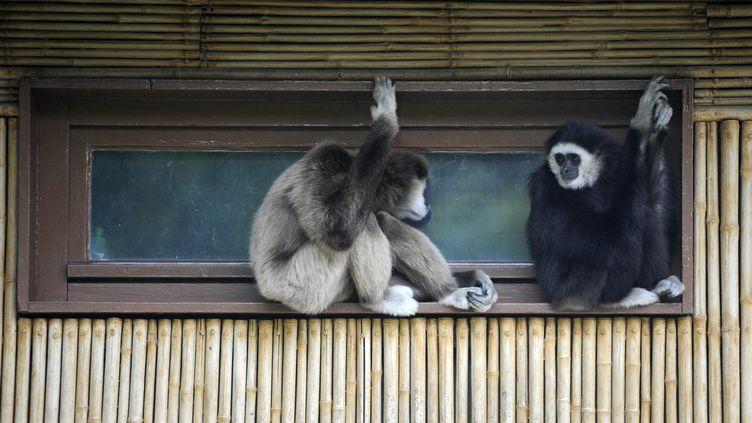 Le gibbon à mains blanches est l'une des rares espèces à pratiquer la monogamie. Ici au zoo Friedrichsfelde, Berlin (Allemagne), le 15 juin 2010. (BARBARA SAX / AFP)