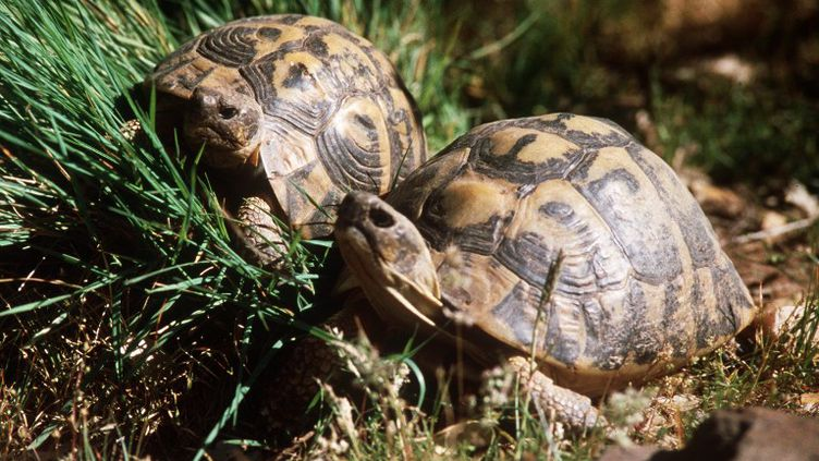 Des tortues de Hermannau Village des tortues deGonfaron (Var), le 14 mars 2002. (BERNARD DEVAUX / AFP)