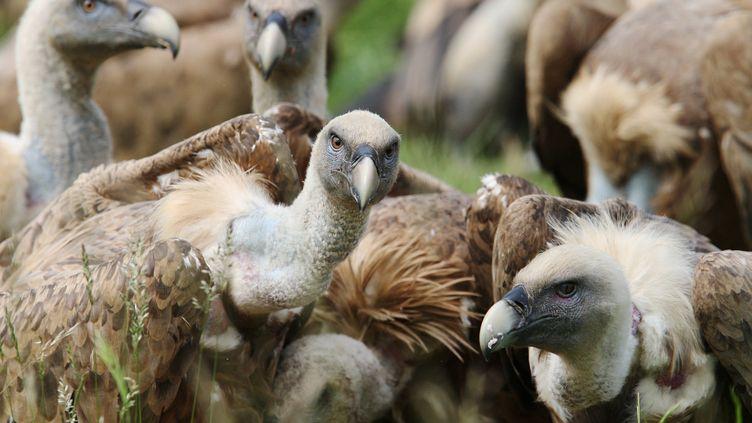 En manque de carcasses, les vautours sont accusés d'attaquer les animaux vivants depuis plusieurs années. (BONNAUD GUILLAUME / MAXPPP)