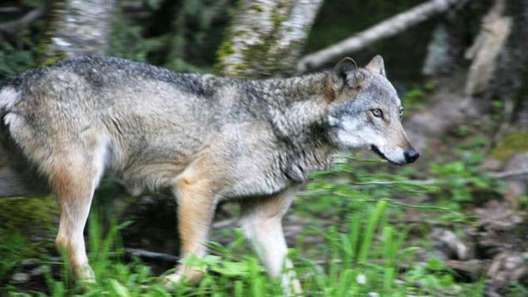 (Les loups auraient encerclé le jeune homme près de la forêt de la Blanche (photo d'illustration) © Maxppp)