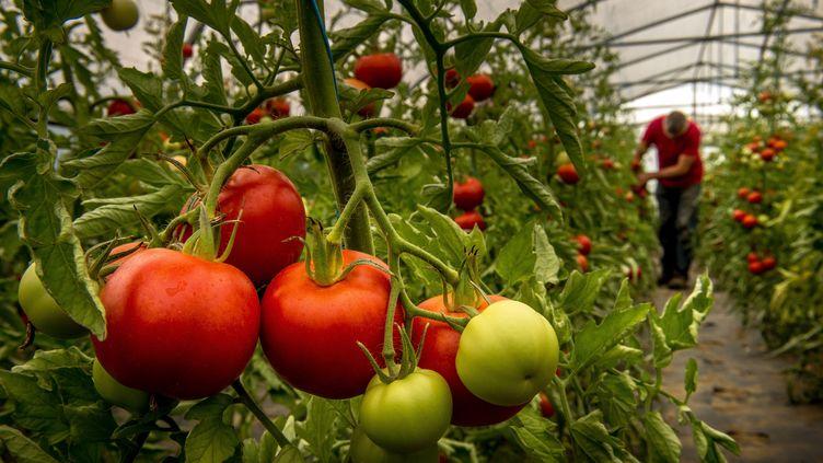 Des tomates poussent sous serre, en août 2015. (PHILIPPE HUGUEN / AFP)