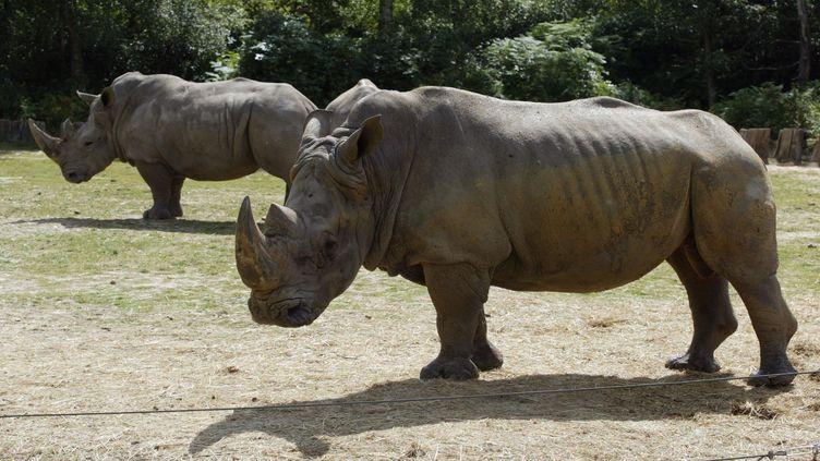 Deux rhinocéros se promènent dans le parc animalier de Thoiry (Yvelines), le 1er août 2002. (MARTIN BUREAU / AFP)