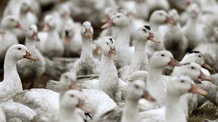Un élevage de canards confiné à Bourriot-Begonce (Landes), le 22 février 2017. (AFP)