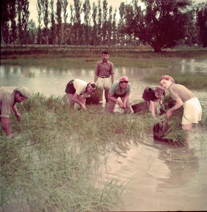 1965 récolte du riz dans une plantation  (Courtesy of the Camargue Museum/PNRC.)