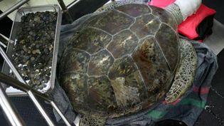 La tortue Omsin vit au zoo de Si Racha, dans la province de Chonburi, à 100 km à l'est de Bangkok. (REUTERS)