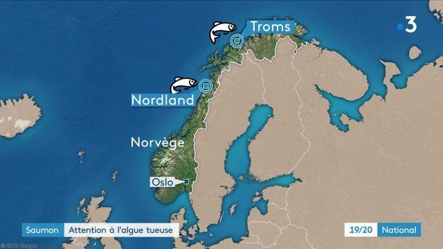 Saumon : une algue tueuse dans les élevages de Norvège