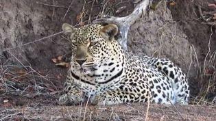 France 2 a tenté de suivre les traces du très discret léopard en Afrique du Sud. Une mission loin d'être gagnée d'avance. (FRANCE 2)