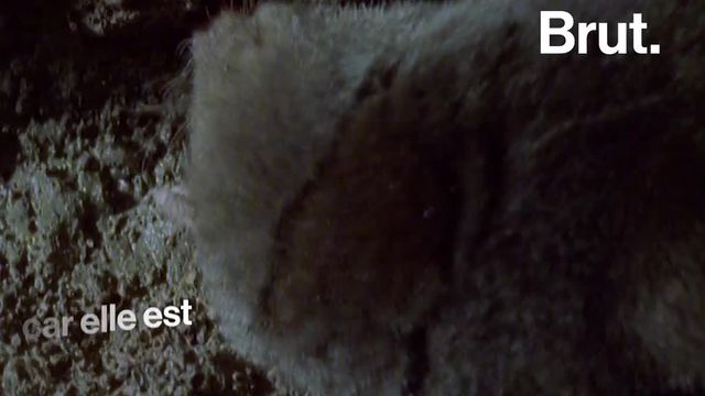 Elle est réputée pour sa laideur. Cette espèce de taupe cache en réalité un outil redoutable.