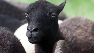 Un mouton noir d'Ouessant. (MAXPPP)