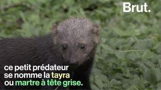 VIDEO. Connaissez-vous la tayra, un petit prédateur très actif (BRUT)
