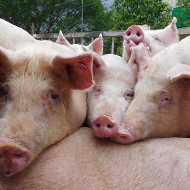 Des porcs à Yunyang, dans la province de Chongqing (Chine), le 8 janvier 2019. (CHEN MEIMING / IMAGINECHINA / AFP)