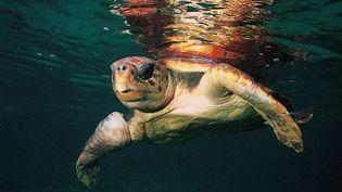 Une tortue caouanne, e 9 juillet 2006 en Corse-du-Sud. (ANTONI GEORGES / HEMIS.FR / AFP)