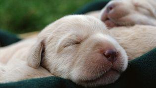 Le vétérinaire avait dissimulé de l'héroïne liquide dans le vendre de bébé labrador. (MAXPPP)
