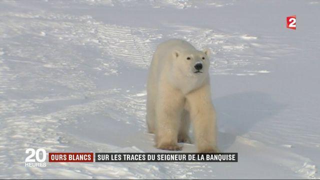 Ours polaires : Churchill, dernière ville sur la route de la banquise