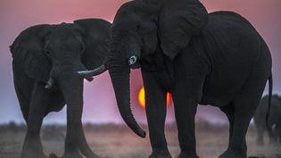 Eléphants au Botswana (illustration) (MEDIADRUMWORLD.COM / JACKIE BADE / MAXPPP)
