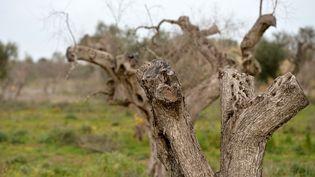 """Des oliviers infectés par la bactérie """"Xylella fastidosia"""", en Italie, en février 2016 (TIZIANA FABI / AFP)"""