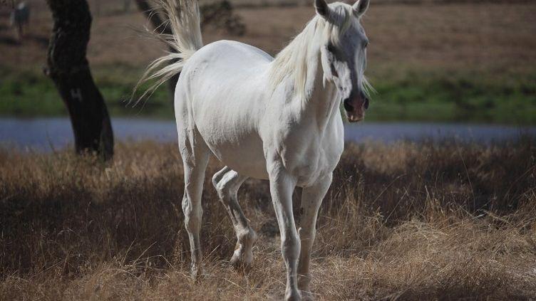 Trois carcasses de cheval originaire de Grande-Bretagne et importées en France contenaient un médicament impropre à la consommation, le phenylbutazone. (LAURIE CASTELLI / CULTURA CREATIVE)