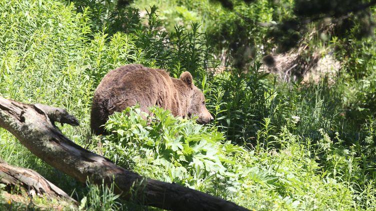 Un ours dans le parc des Angles(Pyrénées-Orientales), en juin 2015. (RAYMOND ROIG / AFP)
