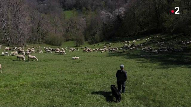 Pyrénées : la prolifération des ours ravit les écologistes mais inquiète les éleveurs