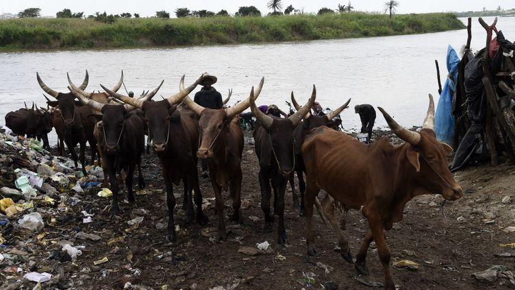 Un bouvier éloigne des vaches de la rivière à Kara, dans l'État d'Ogun, au sud-ouest du Nigeria, le 25 juillet 2020. (PIUS UTOMI EKPEI / AFP)