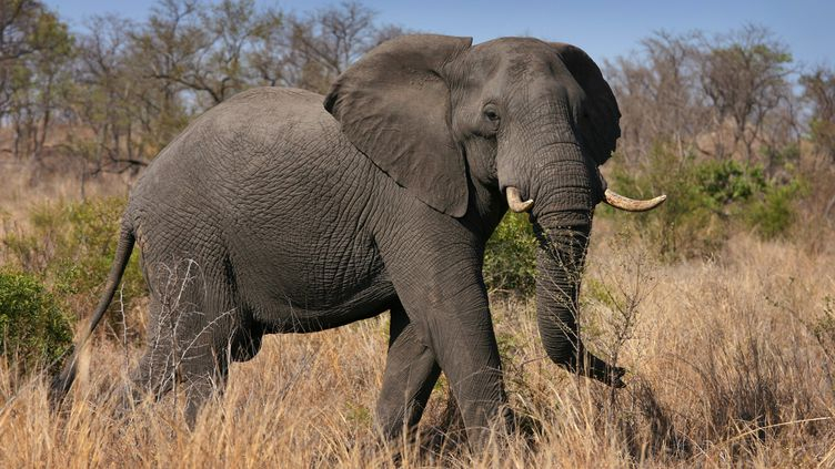 Un éléphant, photographié dans le parc Kruger en Afrique du Sud le 25 octobre 2009. (JON HRUSA / EPA)