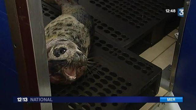 Intempéries : de nombreux phoques échoués sur les côtes