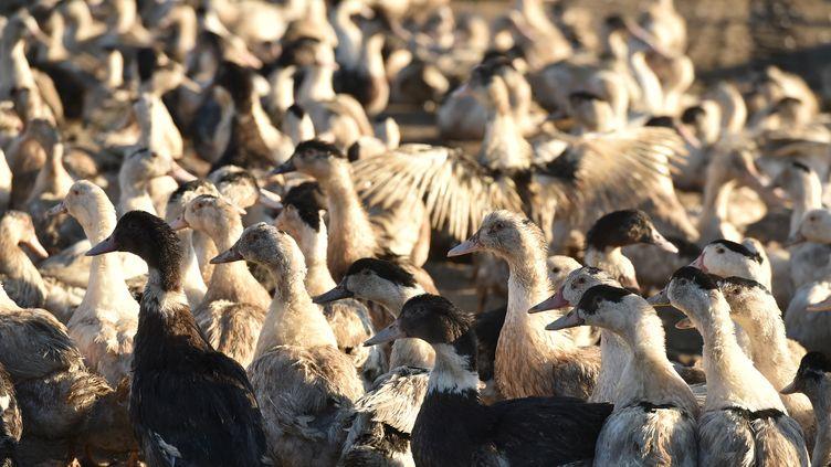 Des canards dans une exploitation de Dordogne, en décembre 2017. (REMY GABALDA / AFP)